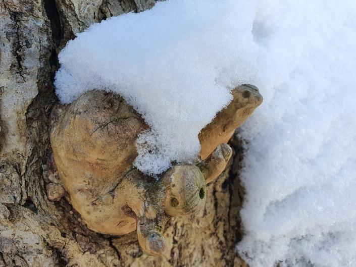 Die Baumtierchen mit Schneekrone